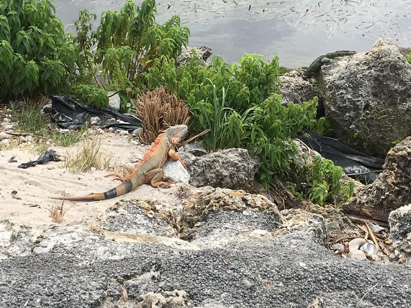 Wild Iguanas