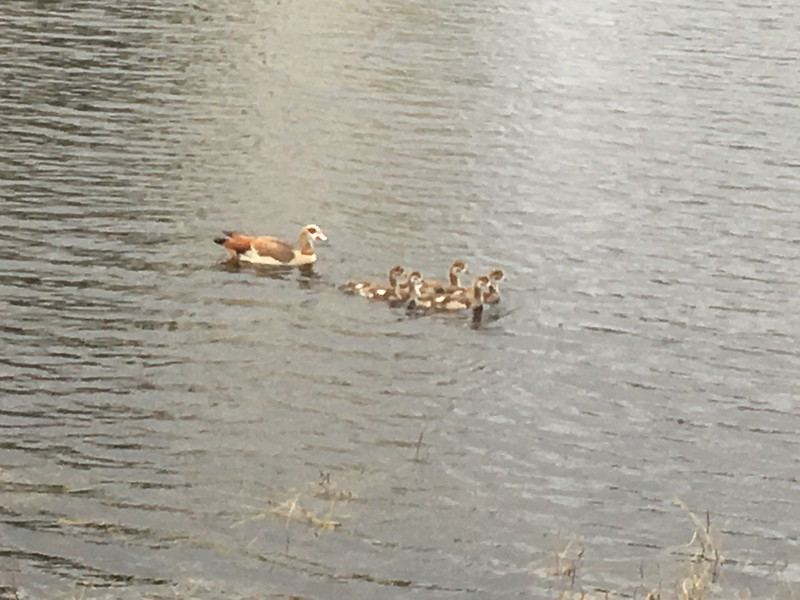Egyptian Geese on Pond in Pompano Beach Florida