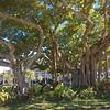 Strangler Fig Trees in Pompano Beach