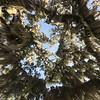 Giant Live Oak Tree at Crystal Manatee Motel