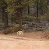 Pronghorn Antelope Standing