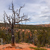 Old Gnarled Tree and Forest Landscape on Thunder Mountain Trail in Utah