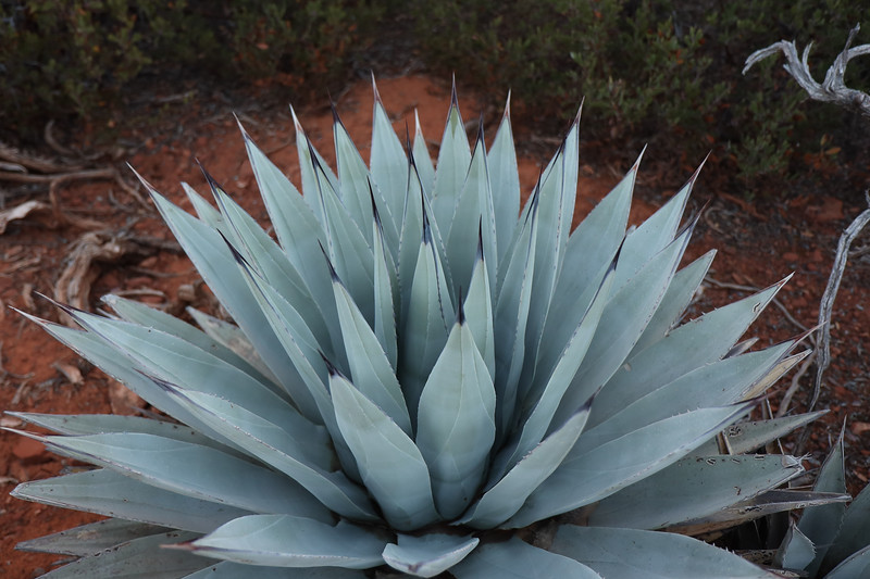 Closeup of Blue-Green Agave Plant in the Desert of Sedona Arizona