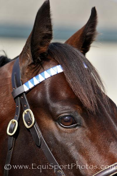 Bernardini Horse