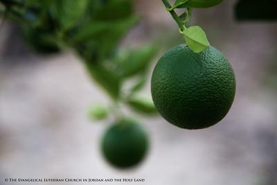More Fruit for Beit Jala