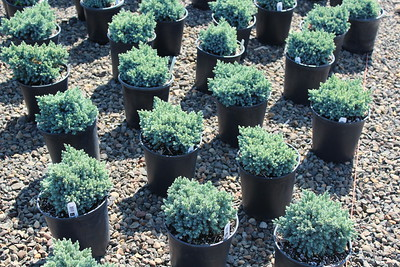 Juniperus sq  'Blue Star' #2 (2)