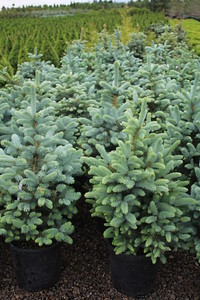 Picea pungens 'Baby Blue' #5 NET Group