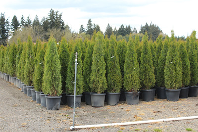 Thuja occ  'Emerald Green' 5-6 ft #15
