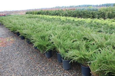 Juniperus chin  'Sea Green' #5