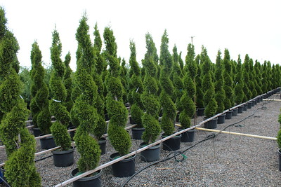 Thuja occ  'Emerald Green' Spiral 6-7 ft, #10