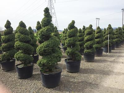 Picea glauca 'Conica' Spiral #45