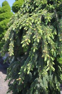 Picea glauca 'Pendula' Foliage