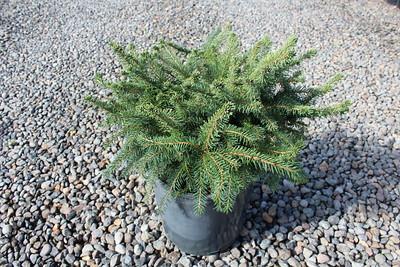 Picea a  'Nidiformis' #2