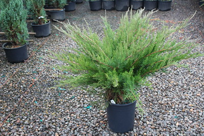 Juniperus chin  'Sea Green' #5 (2)