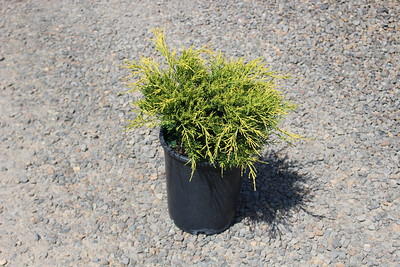 Juniperus chin  'Old Gold' #5