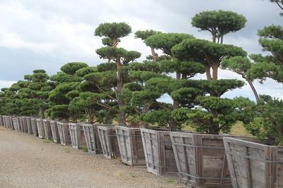 Pinus sylvestris Poodle Specimen 12' #60 (6)