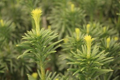 Cephalotaxus harringtonia 'Fastigiata' Foliage