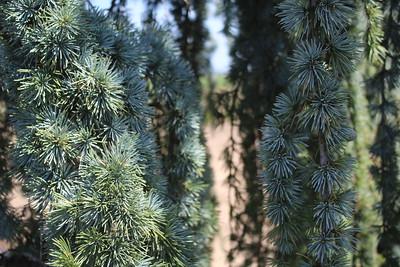 Cedrus atl  'Glauca Pendula' Serpentine Specimen Foliage