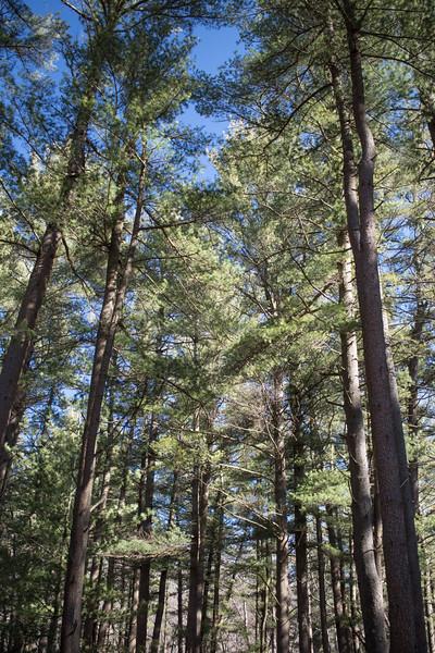 Sleeping Giant Pine Trees
