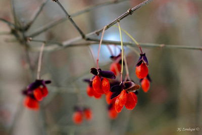 Winter Berries 1
