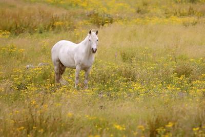 White Horse-1L8A1164