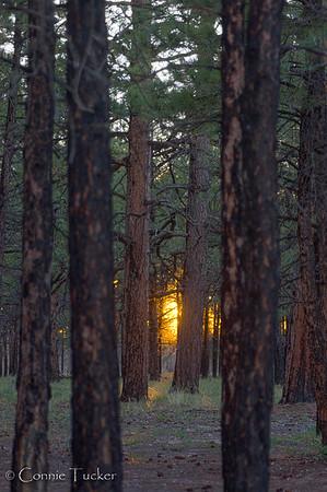 Sunset Thru The Pines