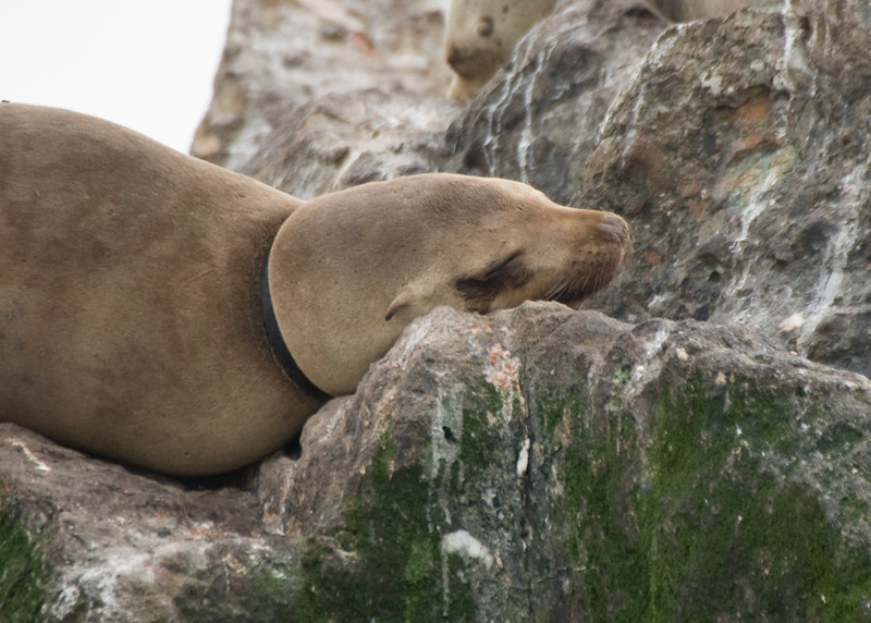 One of the more curious and inquisitive marine mammal in the ocean, this sea lion was unfortunate enough to have a rubber belt get stuck around his neck. As this animal grows, the ring will eventually become so tight that this animal will die without human intervention.
