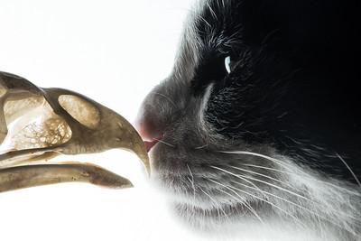 Cat induced bird declines