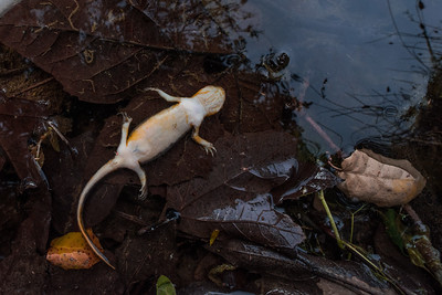 Amphibian Disease