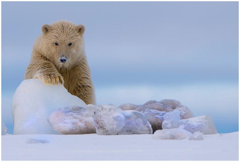 Dirty cub on blue ice