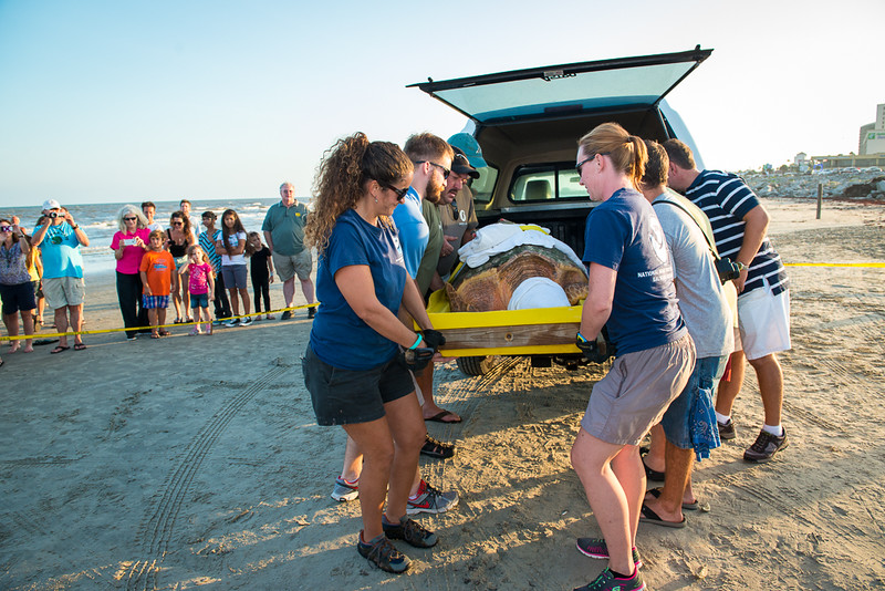 Loggerhead Turtle Release at Galveston, TX - 7/2013