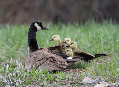 Gawking Goslings