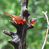 Northern Cardinal and Painted Bunting. NRCS photo by Beverly Moseley.
