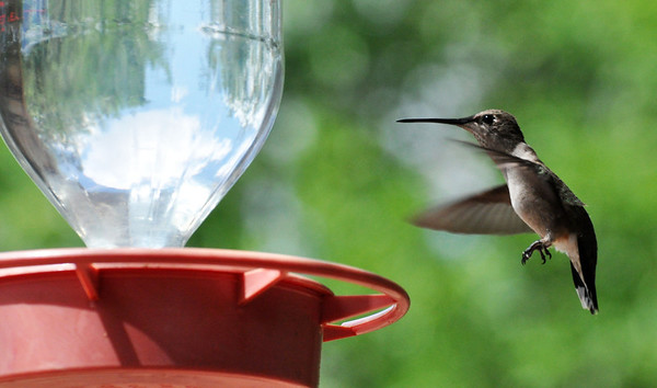 Hummingbird. NRCS photo by Beverly Moseley.