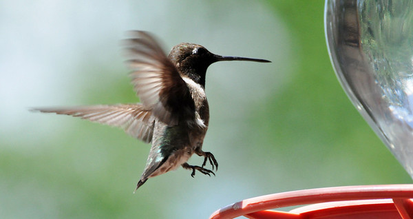 Hummingbird/ NRCS photo by Beverly Moseley.