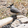 Black-Crested Titmouse. NRCS photo by Beverly Moseley.