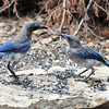 Scrub Jays. NRCS photo by Beverly Moseley.
