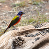 Painted Bunting. NRCS photo by Beverly Moseley.