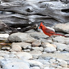 Northern Cardinal, NRCS photo by Beverly Moseley.