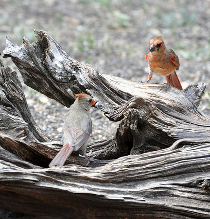 Northern Cardinals. NRCS photo by Beverly Moseley.