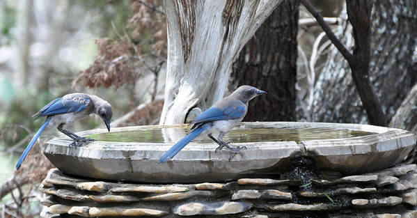 Scrub Jays watering. NRCS photo by Beverly Moseley.