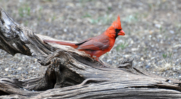 Northern Cardinal. NRCS photo by Beverly Moseley.