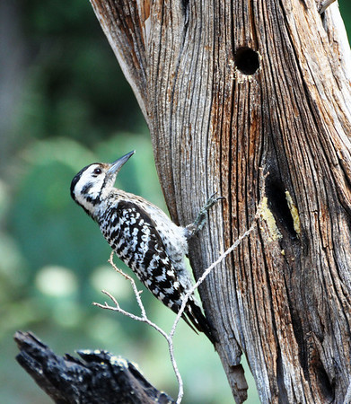 Ladder-backed Woodpecker. NRCS photo by Beverly Moseley.