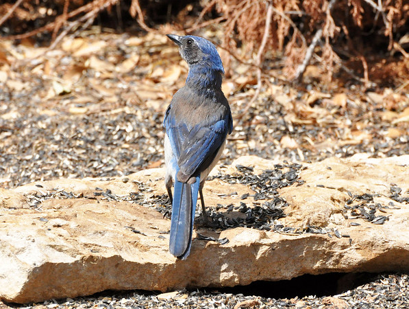 Scrub Jay.  NRCS photo by Beverly Moseley.