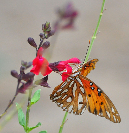 Butterfly pollinating. NRCS photo by Beverly Moseley.