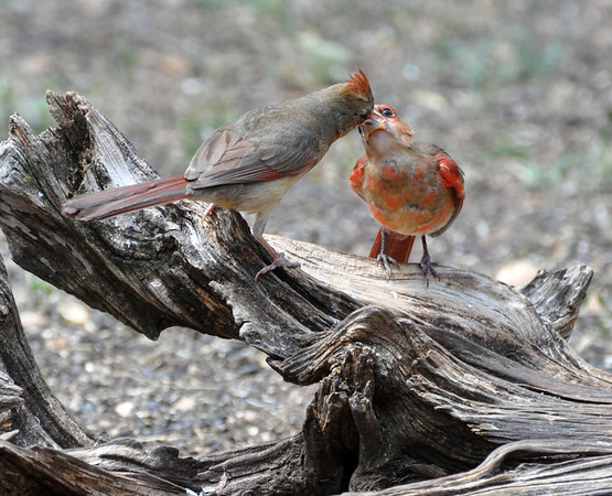 Northern Cardinal feeding another. NRCS photo by Beverly Moseley.