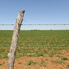 A five strand barbed wire perimeter fence surrounds wheat pasture in Randall County near Canyon, Texas.