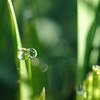 Blade of wheat with early morning dew in Cochran County near Morton, Texas.