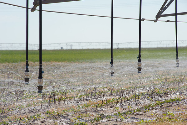 Center pivot sprinkler with low energy precision application drop nozzles irrigates cotton growing in wheat residue used as a cover crop.
