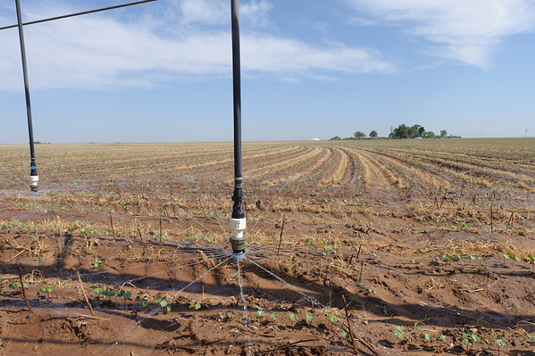 Mitchell farms in Lynn County irrigating cotton using efficient drop nozzles on center pivot irrigation system.